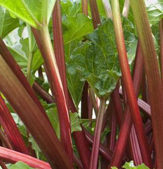 Rhubarb Seeds