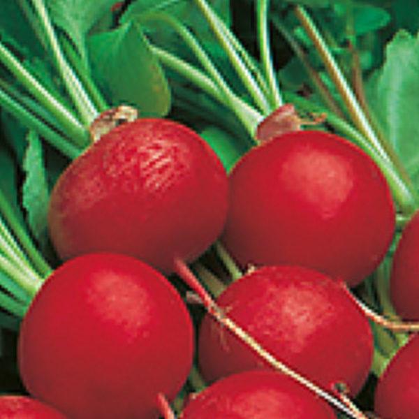 RADISH SEEDS : Red Radish Seeds / CP200