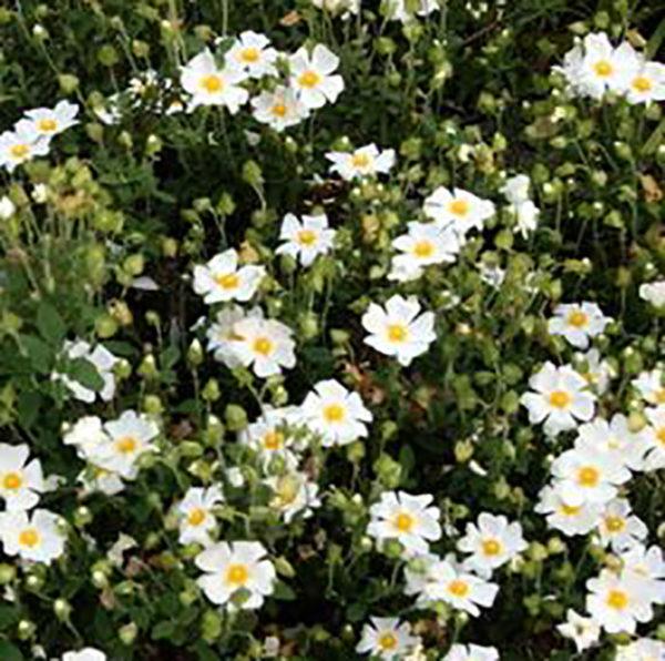 HERB SEEDS : Sage-leaf Rock rose Seeds / CP223
