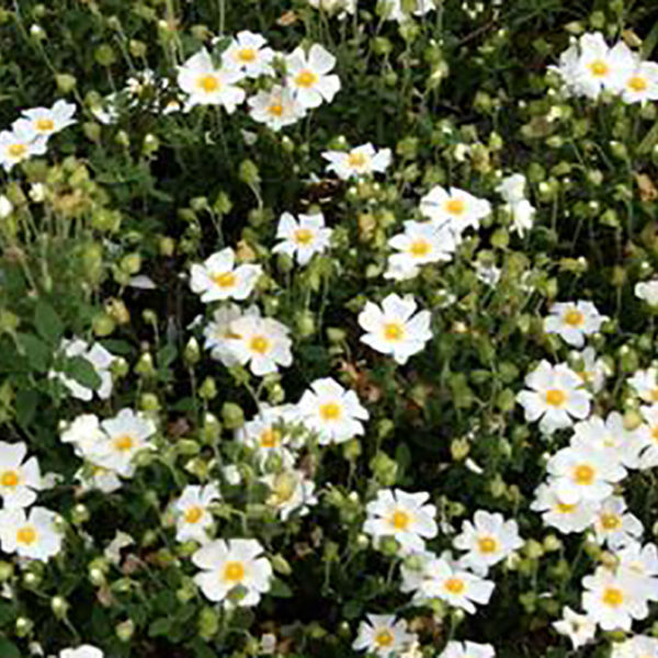 HERB SEEDS : Sage-leaf Rock rose Seeds / CP223