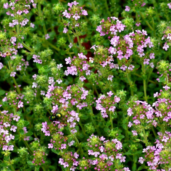 Wild Thyme, creeping thyme Seeds